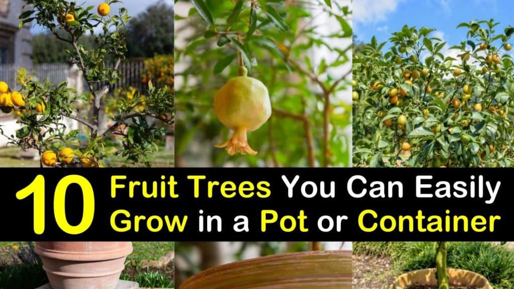10 Fruit Trees You Can Easily Grow In A Pot Or Container Fruit Trees In Containers Fruit Trees Container Gardening