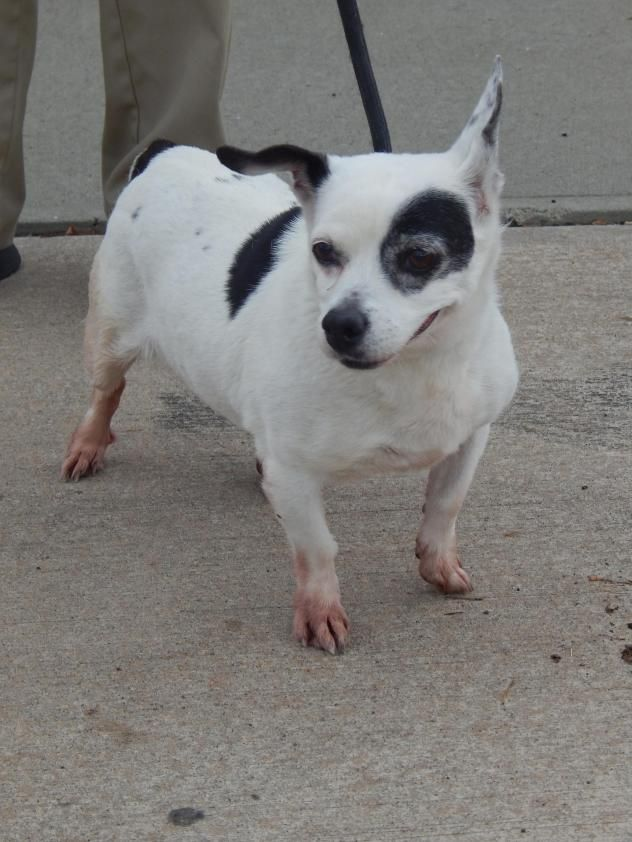 Adopt Domino 0740 On Chihuahua Dogs Dogs French Bulldog