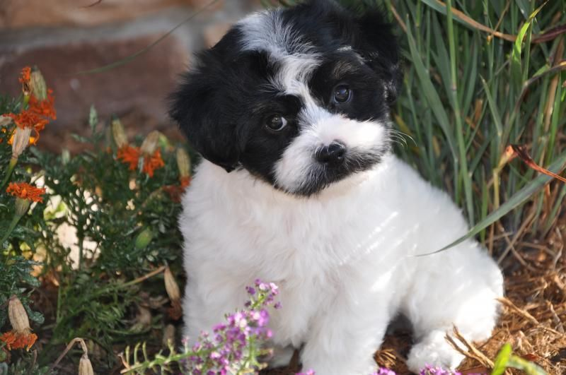 Denver Havanese Home Daisy Havanese Are The Cute With Images