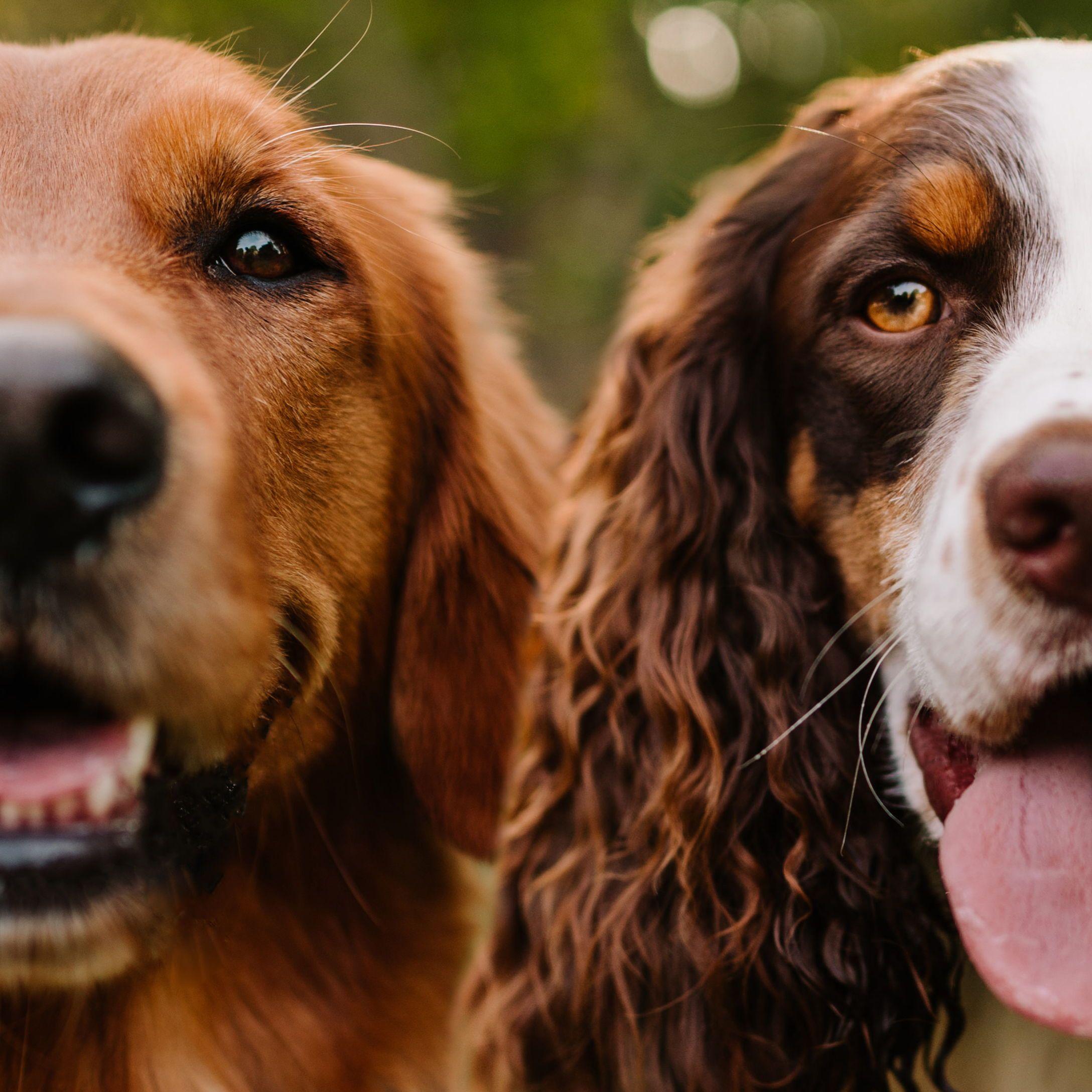Two Dogs One Family English Golden Retrievers Dog Adventure Spaniel Dog