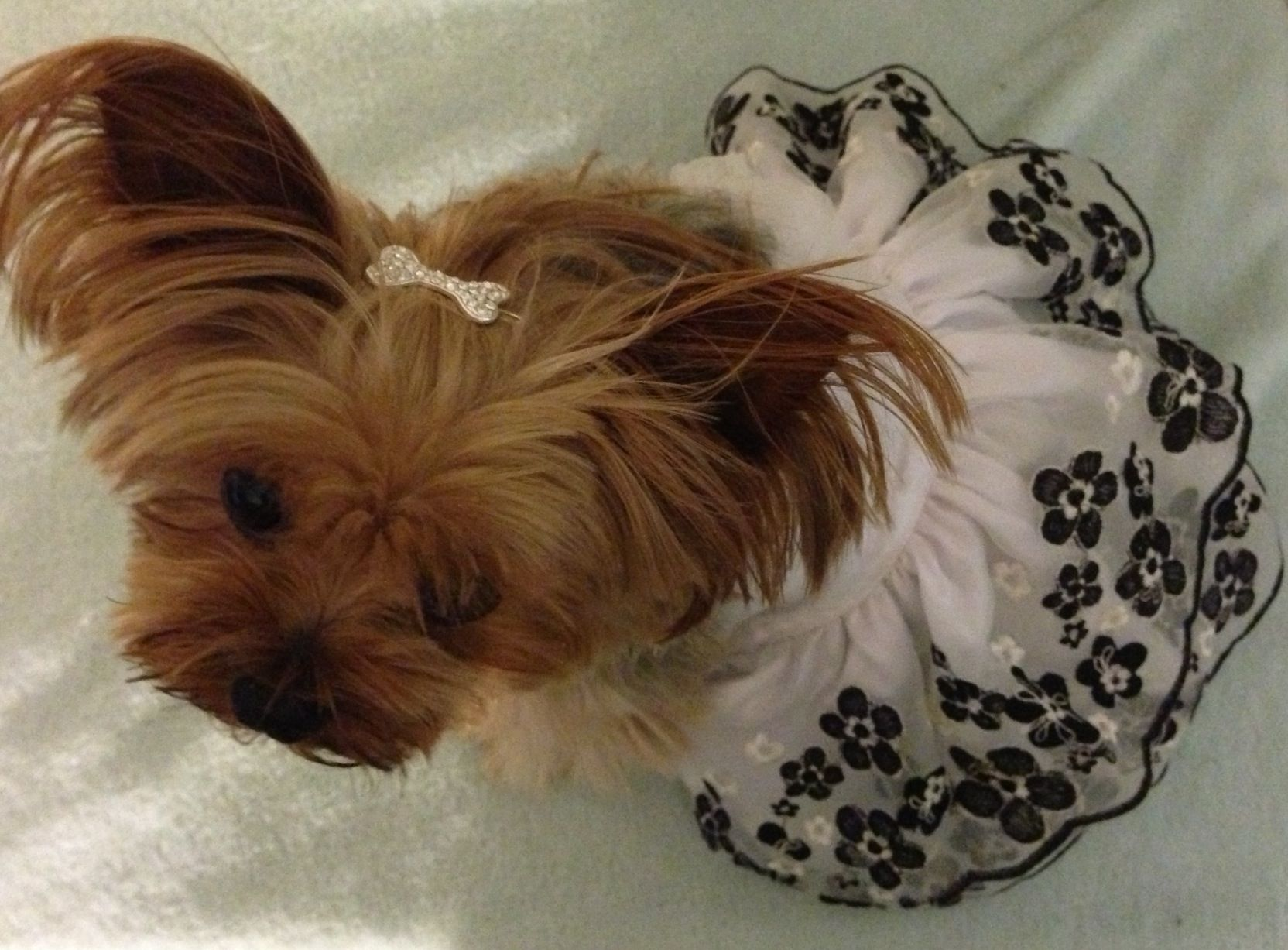Yorkie In Fancy Dress Made For Small Toy Breed Dogs Toy Dog