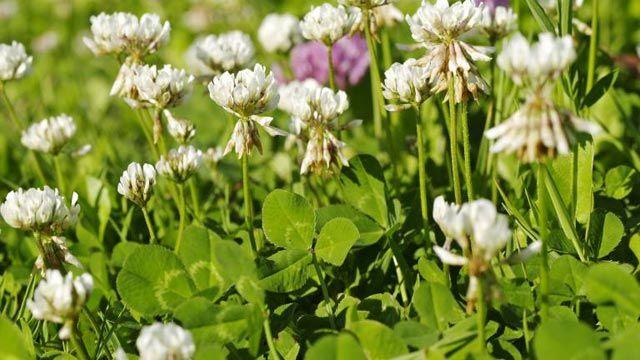 Hartnäckigen Klee im Rasen loswerden Gardens - unkraut im rasen