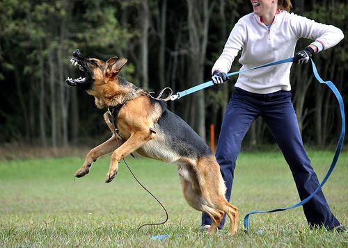 German Shepherd Protection Training German Shepherd Dogs German