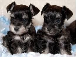 Tea Cup Schnauzers They Get Up To 8 Lbs I Want One Schnauzer
