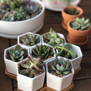 Mini Assorted Succulents - Perfect for Fairy Gardening & Wedding Favors 36-Pack 1.75 Mini Assorted Succulents Perfect for   EtsyMini (disambiguation)  The Mini is a small economy car made by the British Motor Corporation (BMC) and its successors from 1959-2000.   Mini may also refer to: