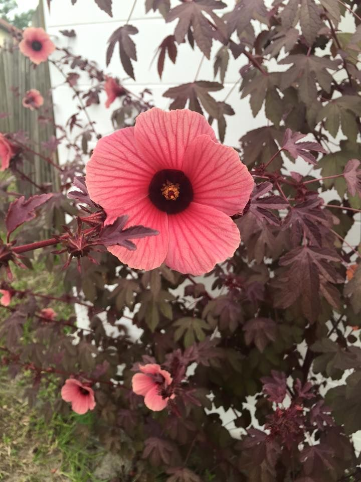 Pin By Carmela Romano On Flowers My Passion Roselle Flower