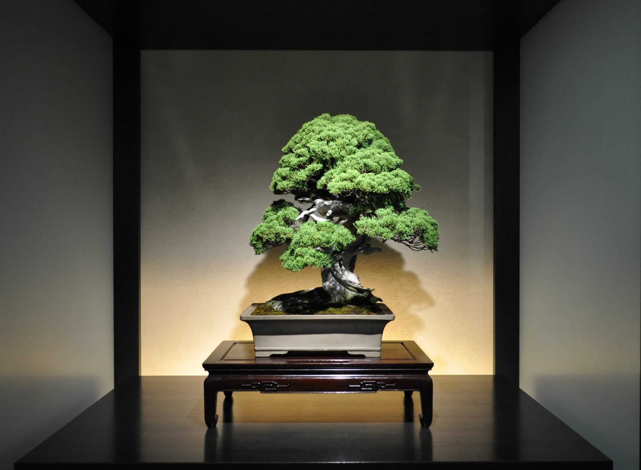 The Omiya Bonsai Art Museum, Saitama - Timeline 真柏(しんぱく Shimpaku) Japanese Juniper