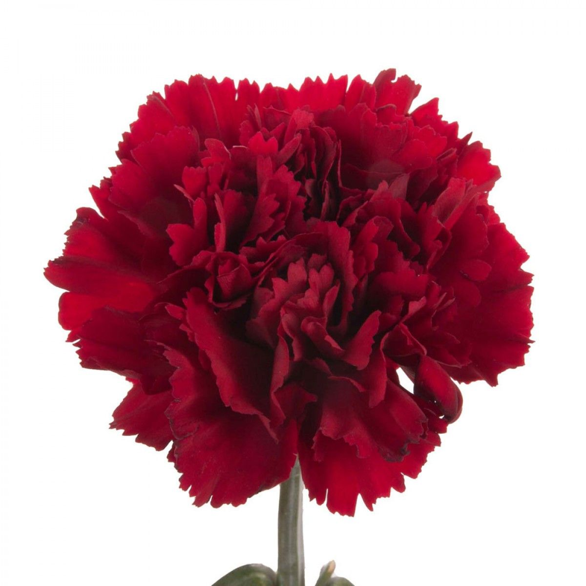 Dark Red Carnations Represent Deep Love And Affection Red Carnation Carnations Red Wedding Theme