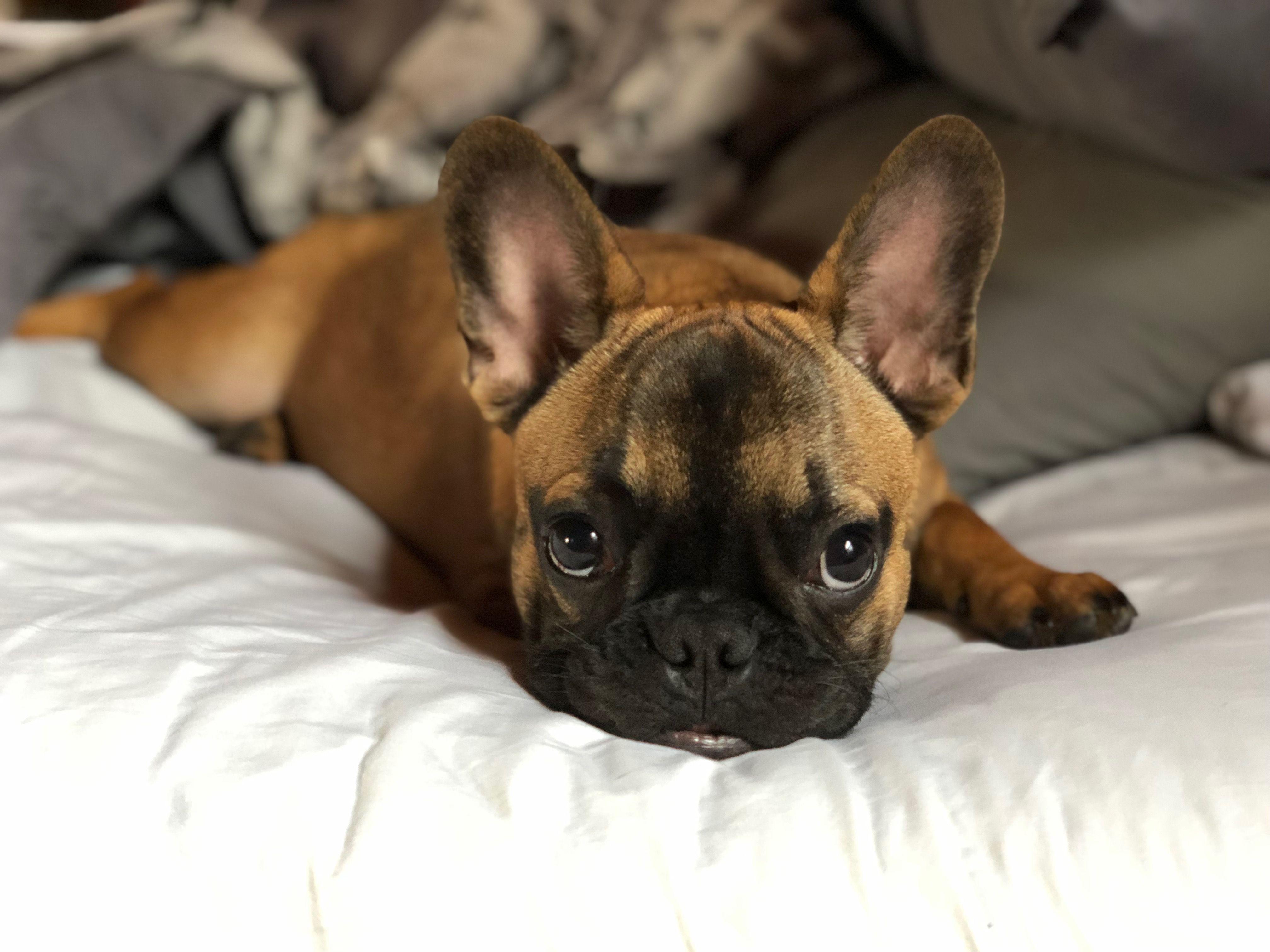Pin By Tenny Wentz On Winston The French Bulldog French Bulldog