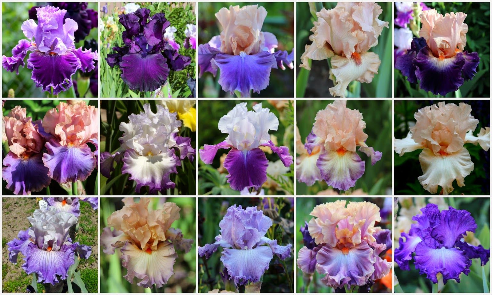 Color Coordinating Your Iris Beds R1 Louisas Song Midnight