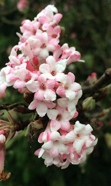 Viburnum bodnantense dawn dense clusters of fragrant dark viburnum bodnantense dawn dense clusters of fragrant dark pink flowers on mightylinksfo