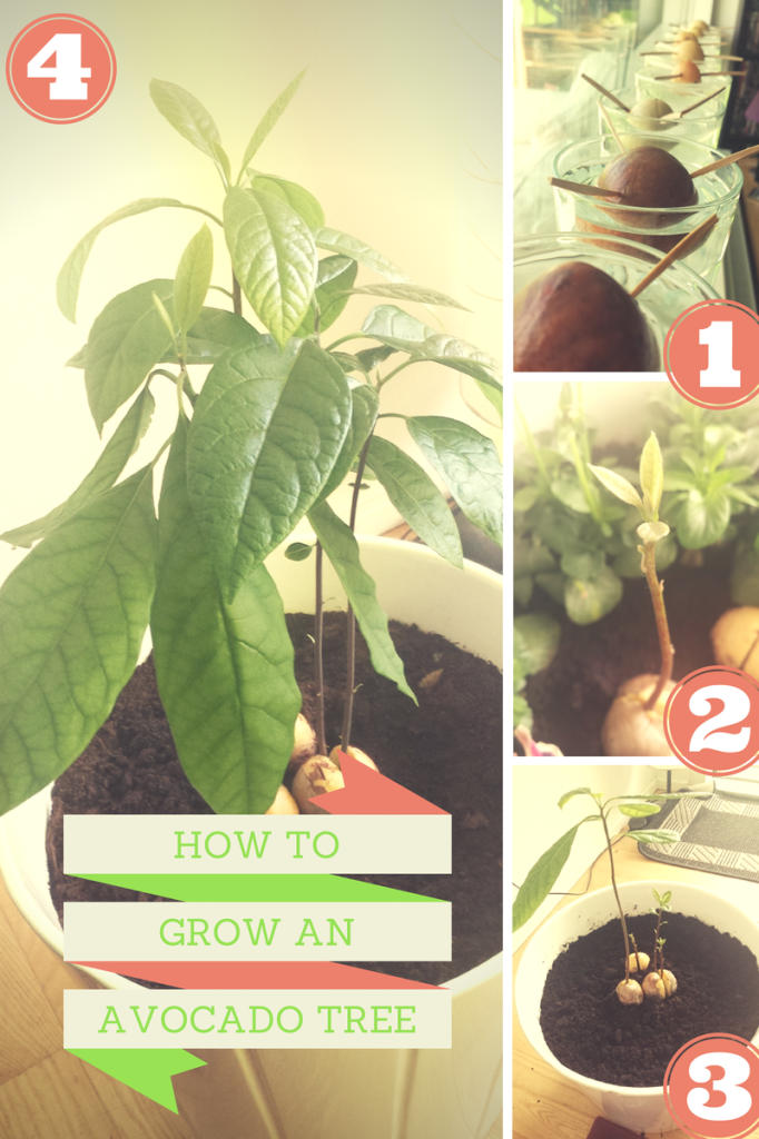 How To Grow An Avocado Tree A Great Summer Project Plants