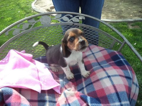 Beagle puppy for sale in FRESNO, CA. ADN71747 on