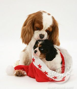 Two Different Kinds Blenheim And Tri Color Cavalier King Charles Spaniel King Charles Dog Cavalier King Charles Dog King Charles Cavalier Spaniel Puppy