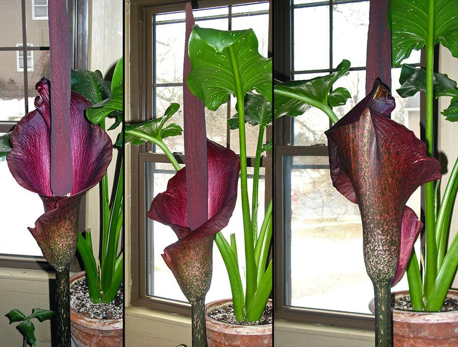 Types Of Voodoo Lily Photo Of The Bloom Of Voodoo Lily Amorphophallus Konjac Posted By Lily Plants Plants Bloom