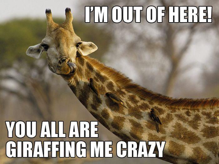 Very funny giraffes | Things i love | Funny giraffe, Funny