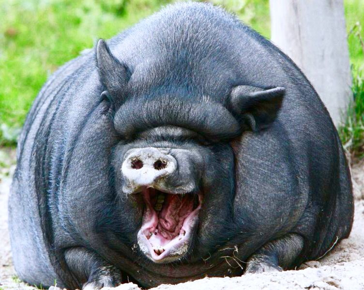 Happy hog | Laughing animals, Smiling animals, Awkward animals