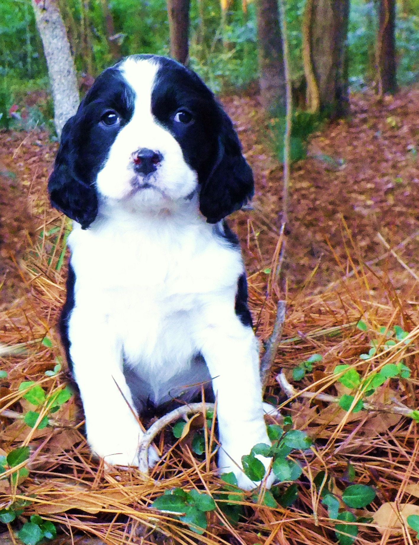 Gorgeous Black And White Male Cocker Spaniel Pup Pickering North Yorkshire Pets4homes Cocker Spaniel Puppies Springer Spaniel Puppies Cocker Spaniel