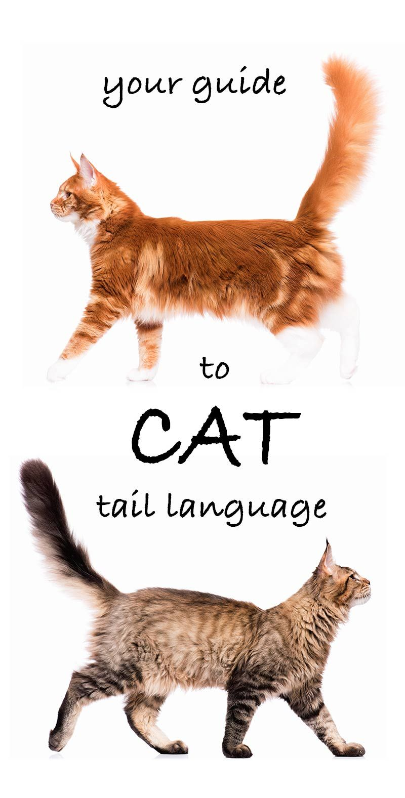Why Do Cats Wag Their Tails A Guide To Cat Tail Language Cat Facts Cat Language Pedigree Cats