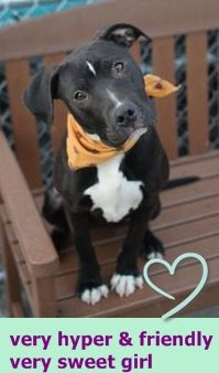Brooklyn Center LEENA – A1064291  FEMALE, BLACK, PIT BULL MIX, 7 mos STRAY – EVALUATE, HOLD FOR ARRESTED Reason OWN ARREST Intake condition EXAM REQ Intake Date 02/03/2016 http://nycdogs.urgentpodr.org/leena-a1064291/