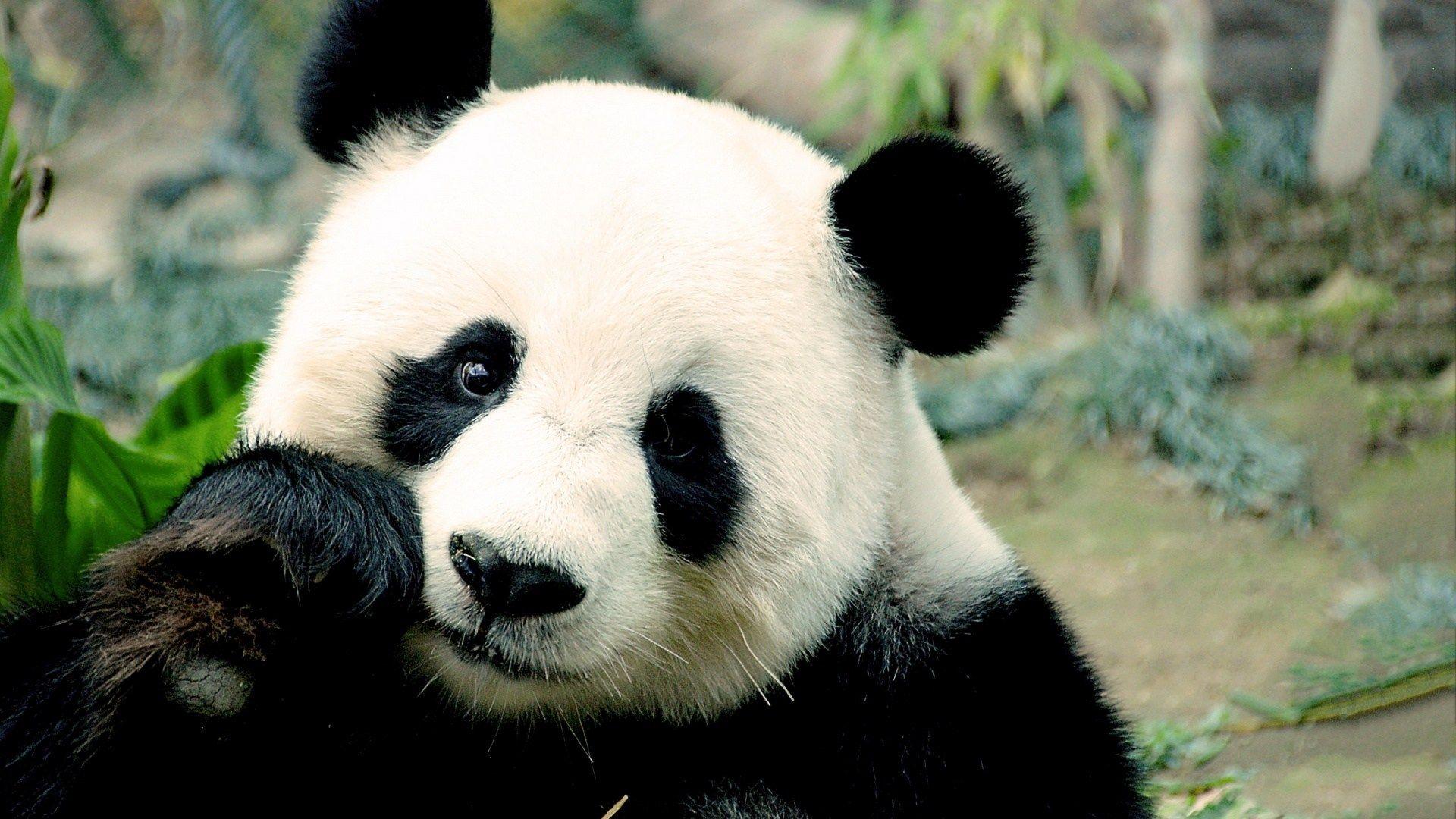 Cute Panda Wallpaper Hd Panda Bear Panda Bear Art Panda