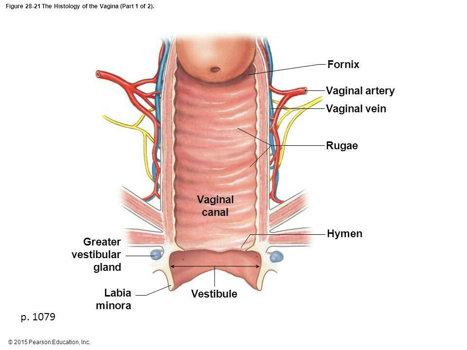 Transverse Rugae On The Anterior Wall Allows Filling Of Bladder And