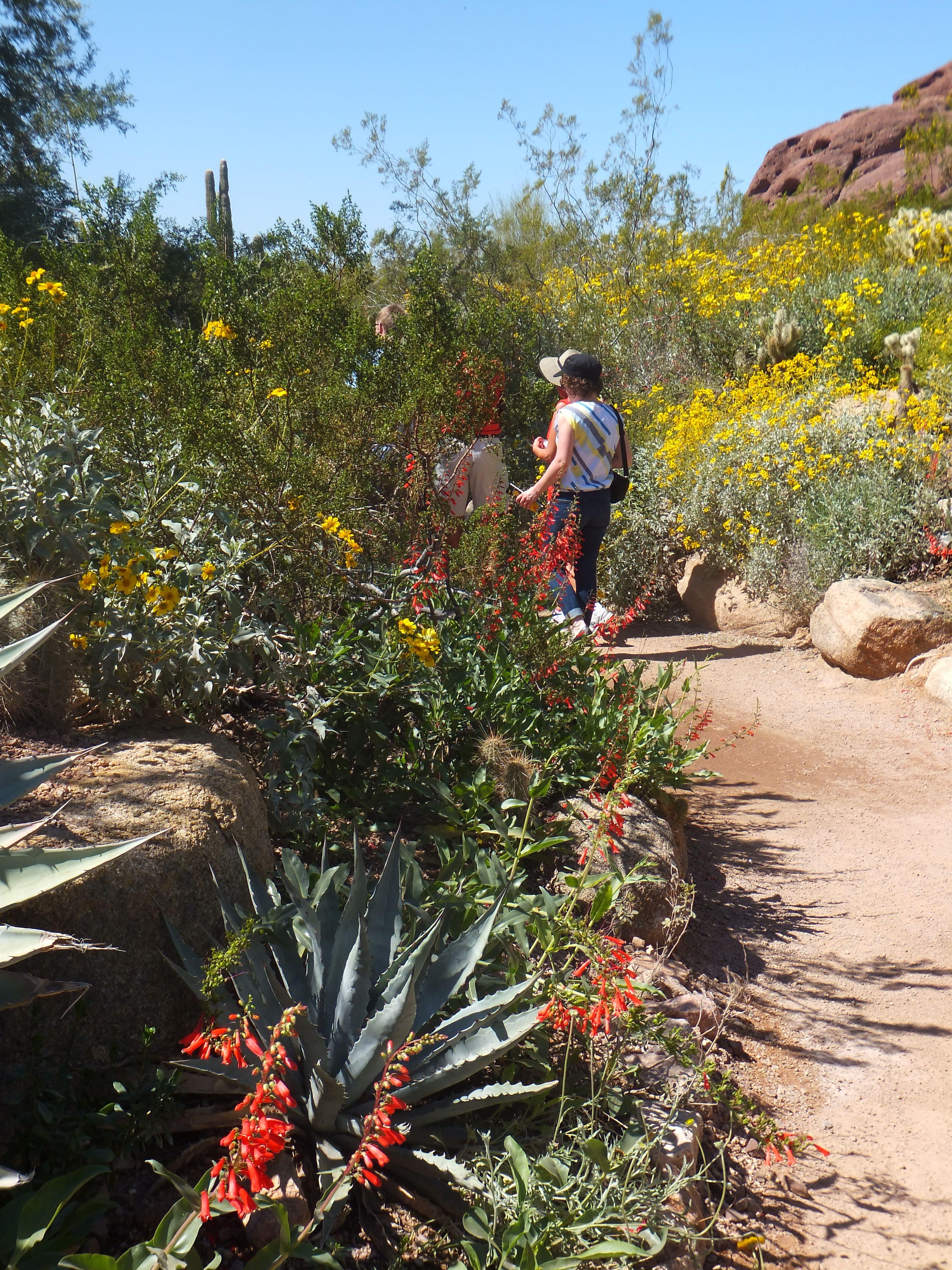 Desert Botanical Garden - Harriet K. Maxwell Desert Wildflower Loop ...