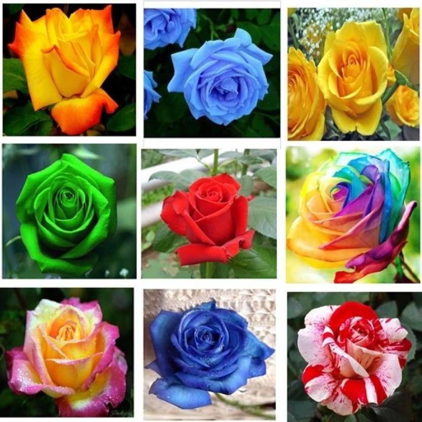 Rose Nine Types Of Rose Flower Plant Seed Planting Flowers Plants Rose Flower