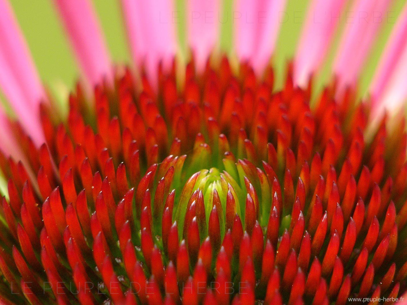 Echinacea Purpurea Vintage Wine Vin Millesime Herbe