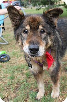 Jolie Australian Cattle Dog Akita Mix Male Neutered House Trained Up To Date With Shots Good Australian Cattle Dog Mix Cattle Dogs Mix Kitten Adoption