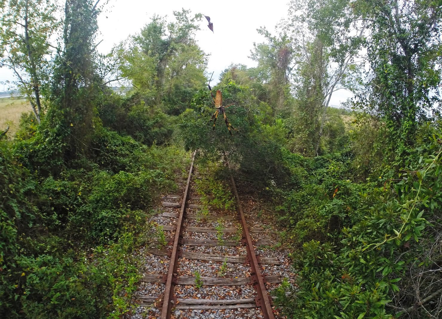 banana spider hanging over railroad track in south carolina. #gopro ...