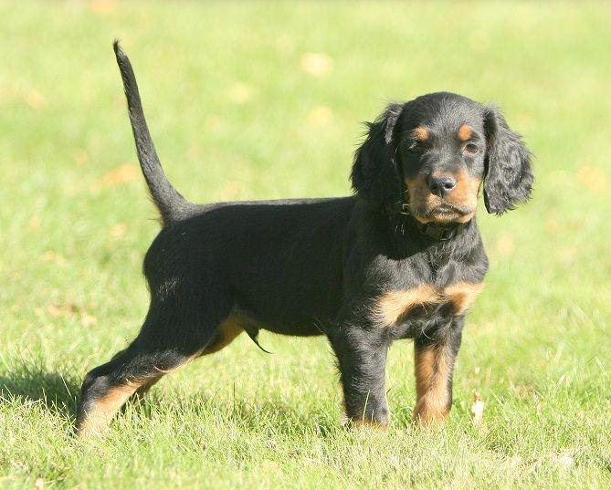 Gordon Setter Puppy Pictures Information
