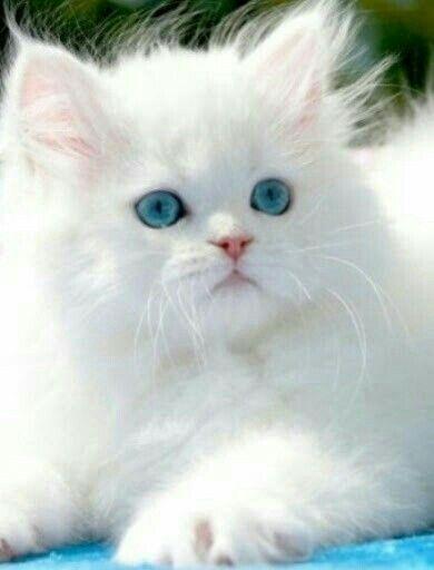 Himalayo Gatos bonitos, Gatitos lindos, Gatos