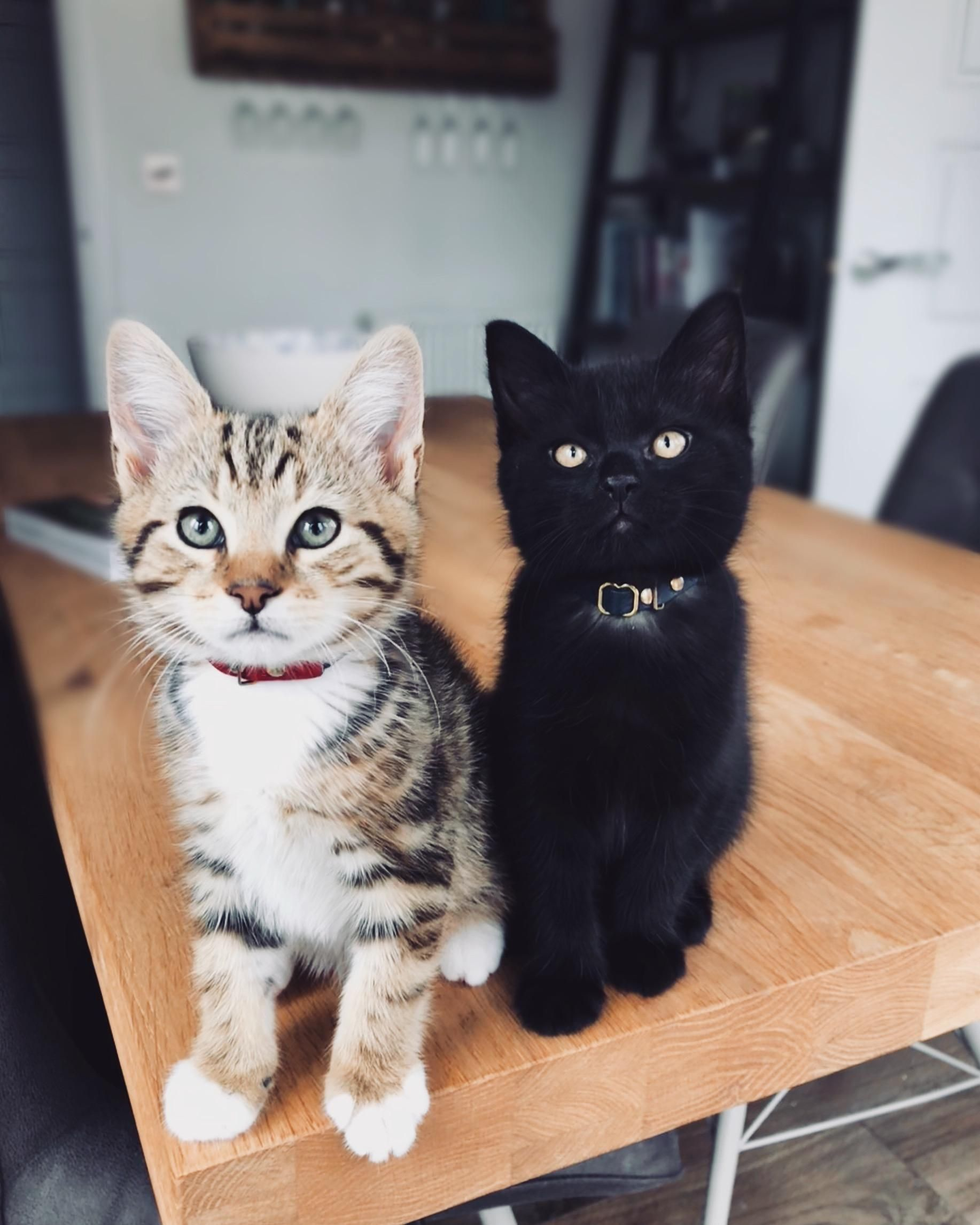 Ozzy and Kane - Modern Cat's Photo Contest