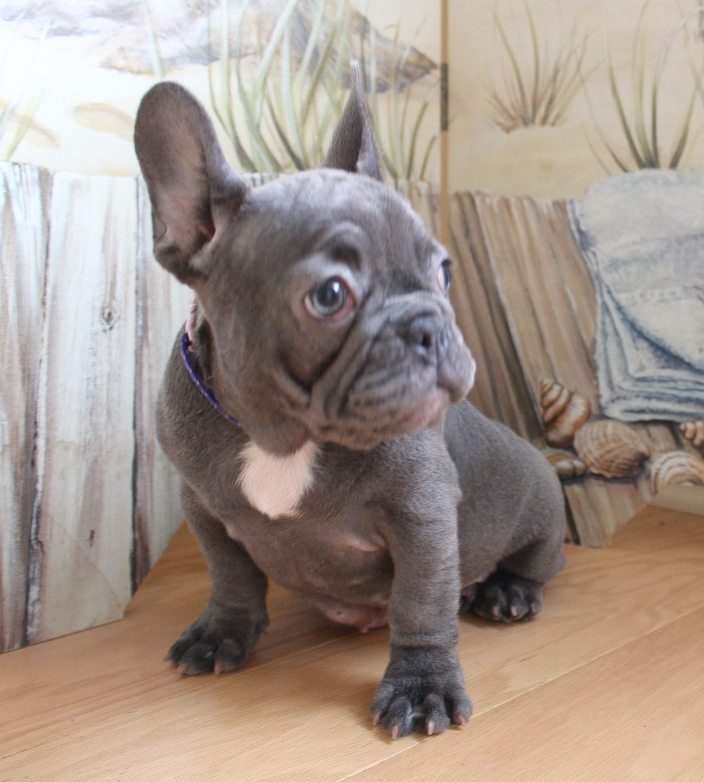 7 Weeks Old Akc Merle Pied French Bulldogs Frenchieforsale Frenchie4sale Frenchbulldogforsale Frenchbulld French Bulldog Bulldog French Bulldog Puppies