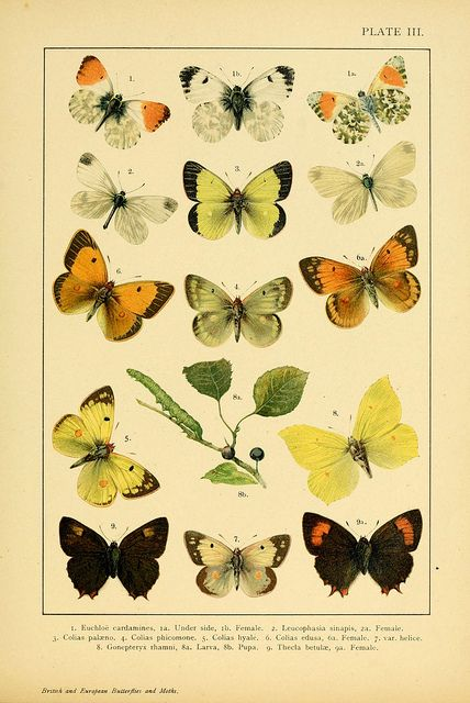 British And European Butterflies And Moths Vintage Butterfly Print Butterfly Illustration Scientific Illustration