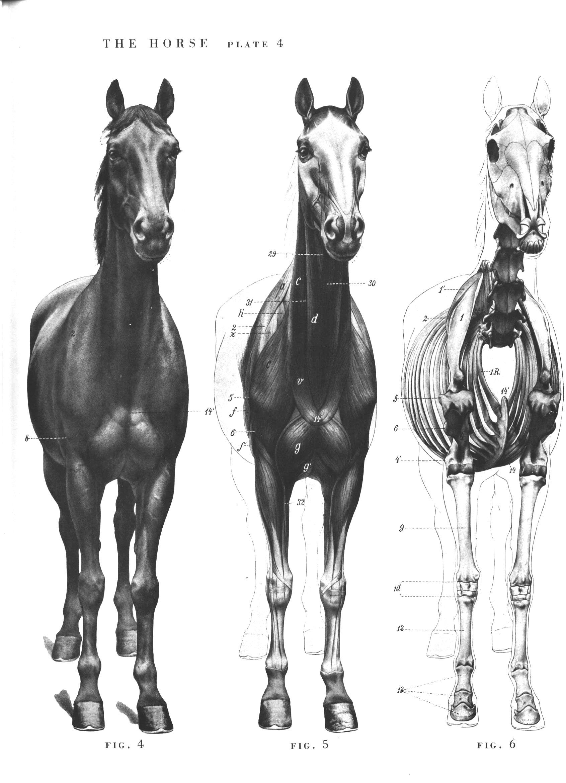 испанский шаг лошади картинки анфас домла