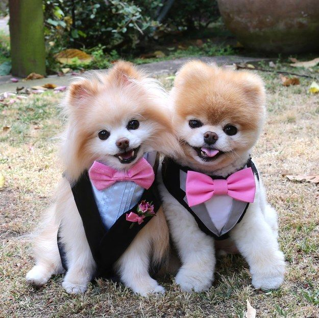 Model Boo  Pomeranian How I Will Cut My Dog39s Hair One Day  Animales