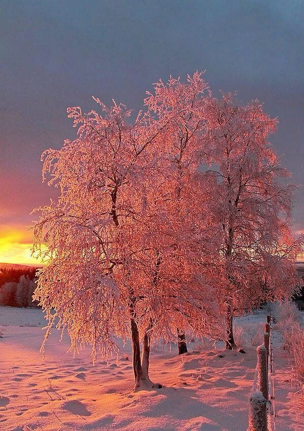 Pink trees in snow
