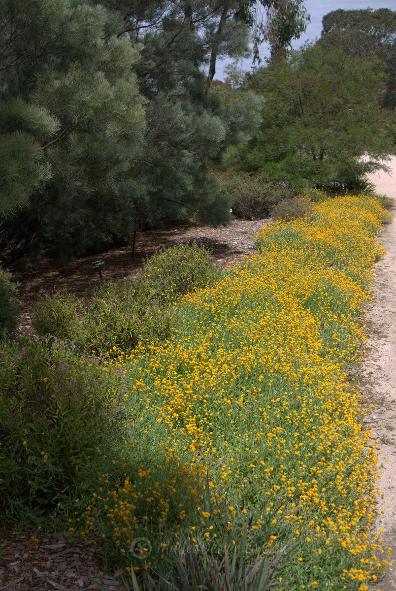 Remember daisies make you happy! Xerochrysum 'Dargan Hill
