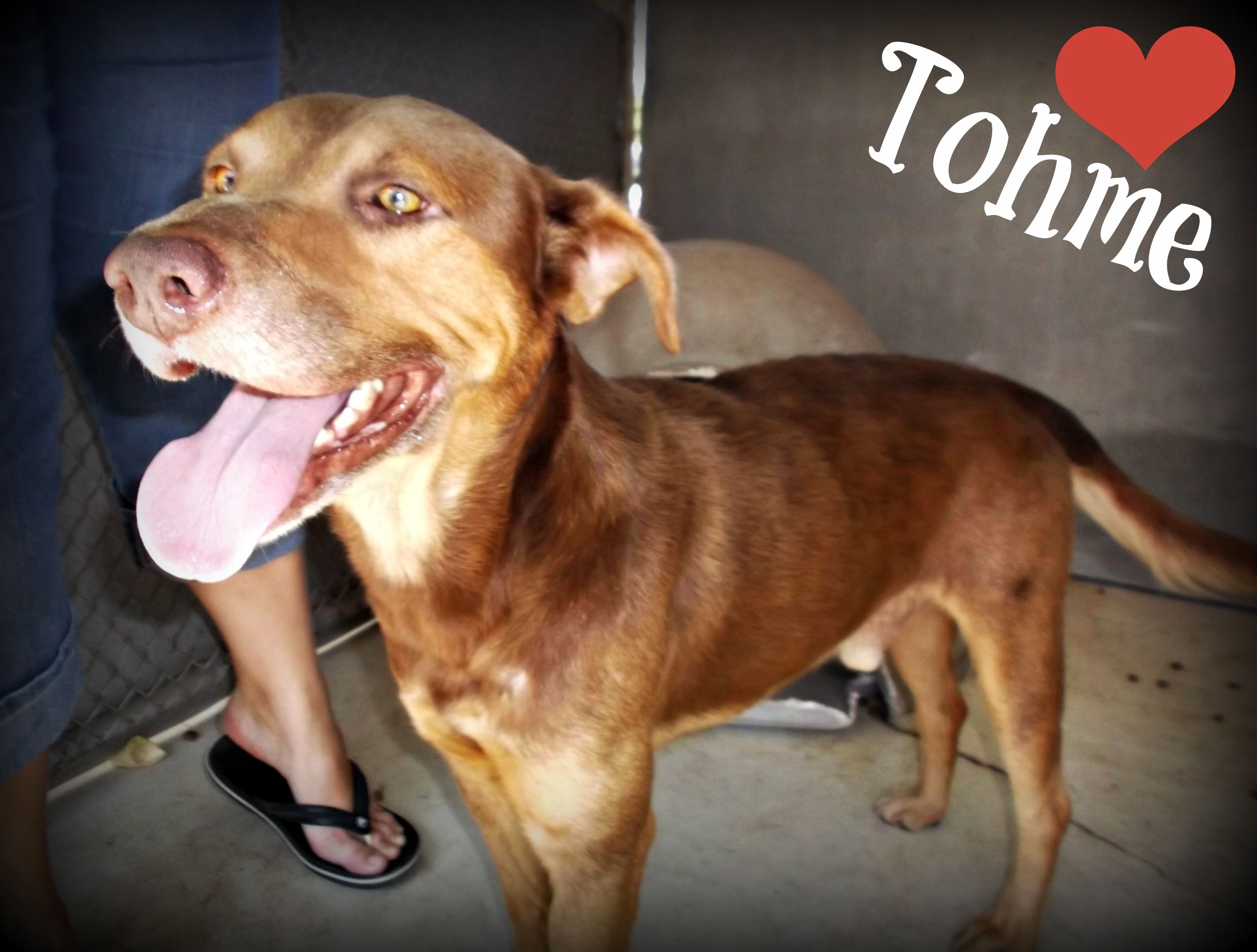 Meet Tohme! This handsome German Shepherd mix is available