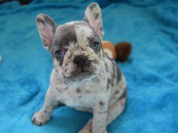 Dwkc Reg Blue Merle French Bulldog Puppies French Bulldog Dog