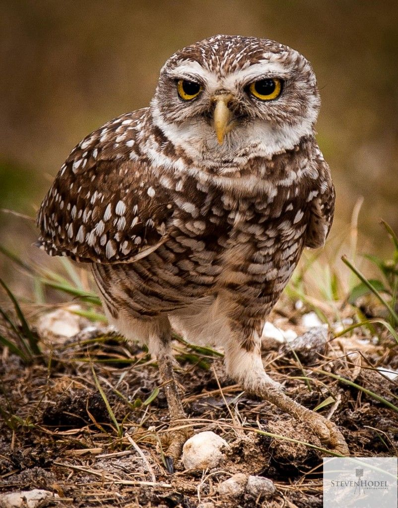 Burrowing owl in Florida Owl, Bird photography