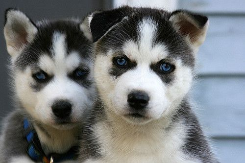 Pin By Al Markley On Man S Best Friend Cute Husky Puppies Husky
