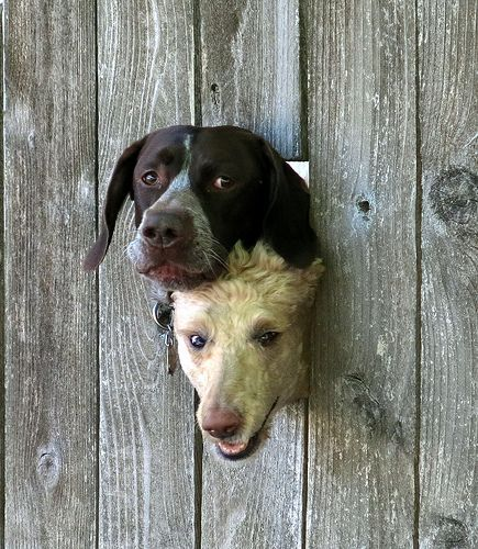 Two Dogs In A Fence Cute Dogs Cute Animals Animals Friends