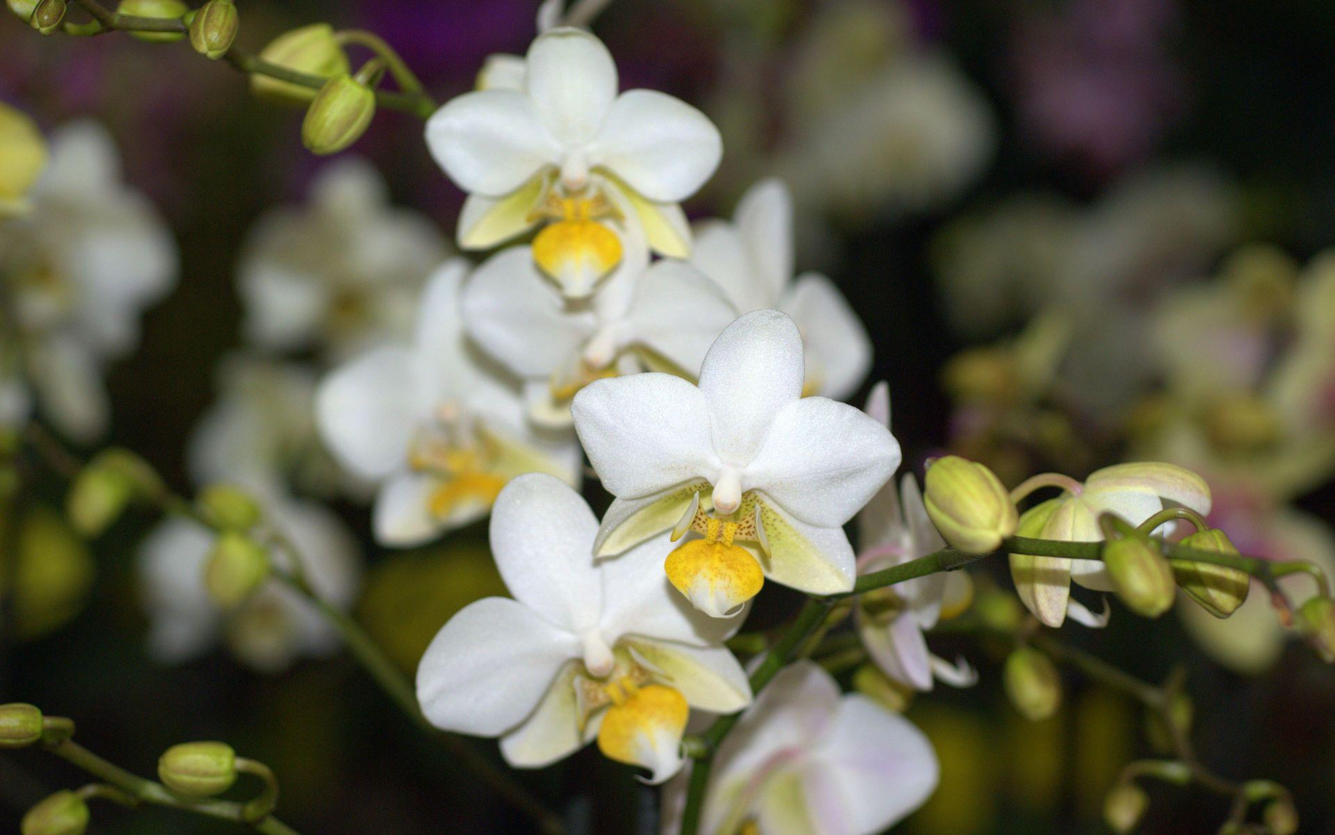 White Yellow Orchid Yellow Orchid Orchids Orchid Wallpaper