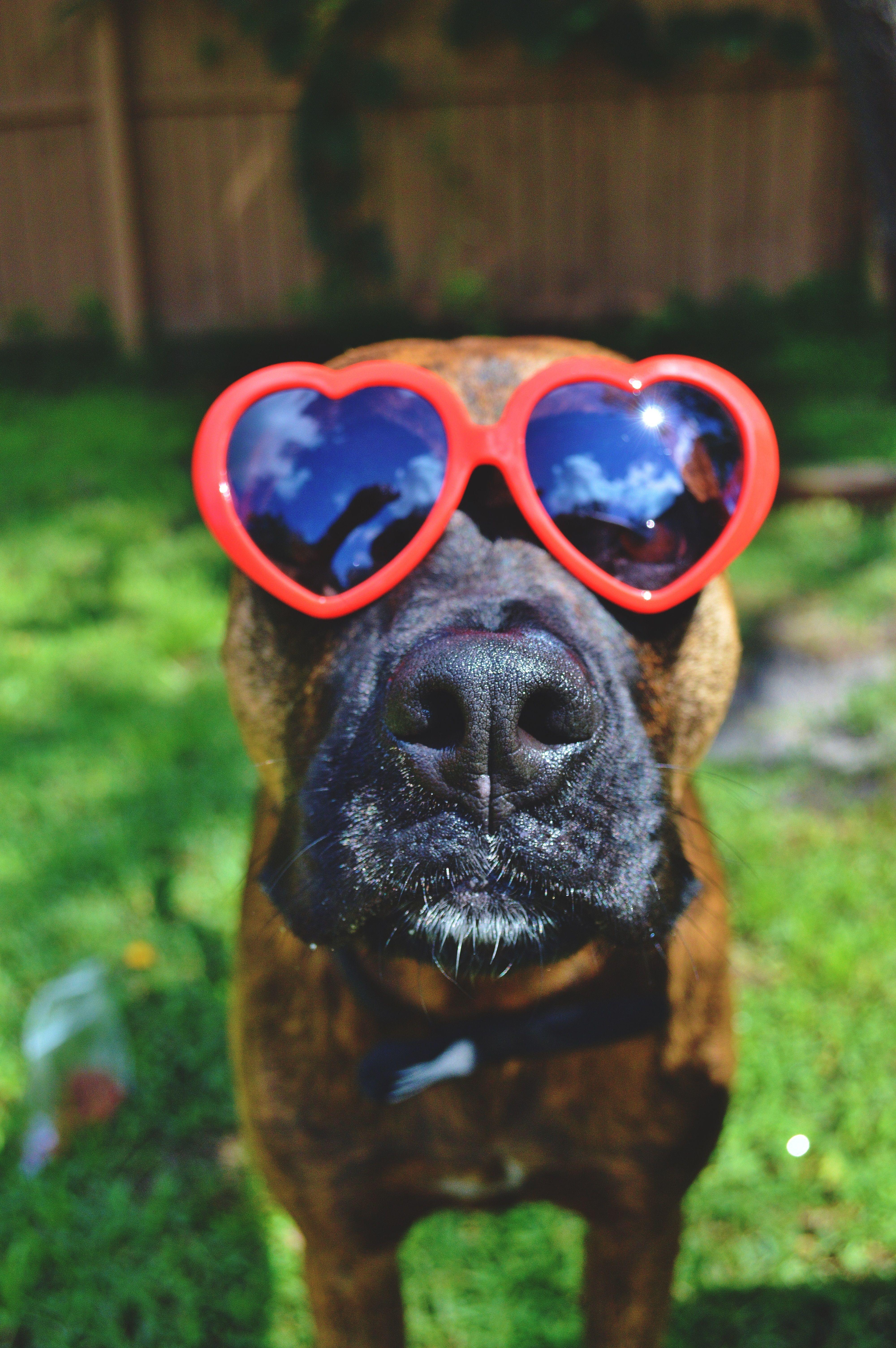 Great Brindle Boxer Bow Adorable Dog - 3d255bc451013b1fabb63d251ec4a8c5  Photograph_551911  .jpg