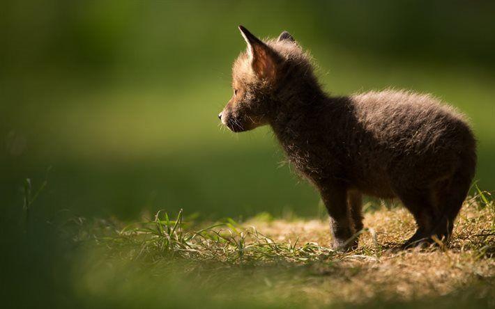 Herunterladen Hintergrundbild Kleiner Fuchs Niedliche Tiere Wald Fuchs Besthqwallpapers Com Niedliche Tiere Ausgestopftes Tier Tiere