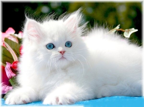 Stunning White Persian Kitten Pretty Cats Cute Cats Persian Kittens