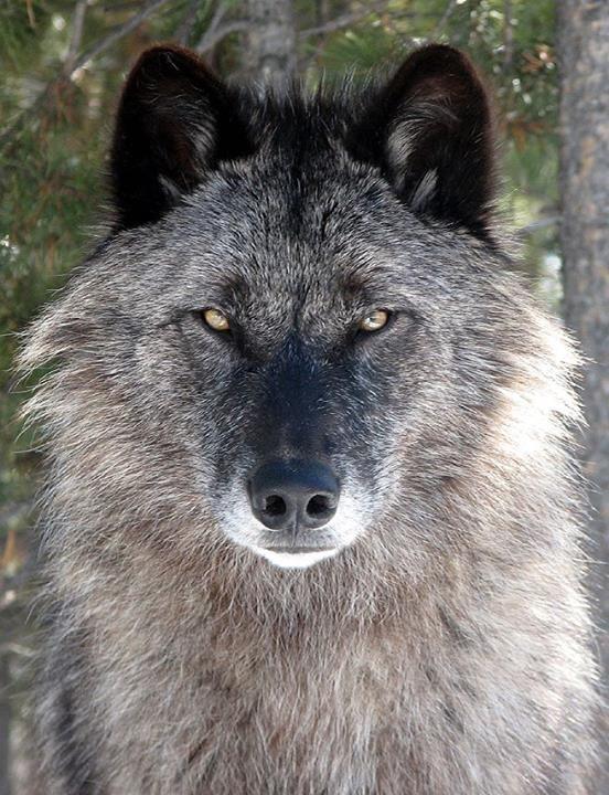 Image result for old black wolf